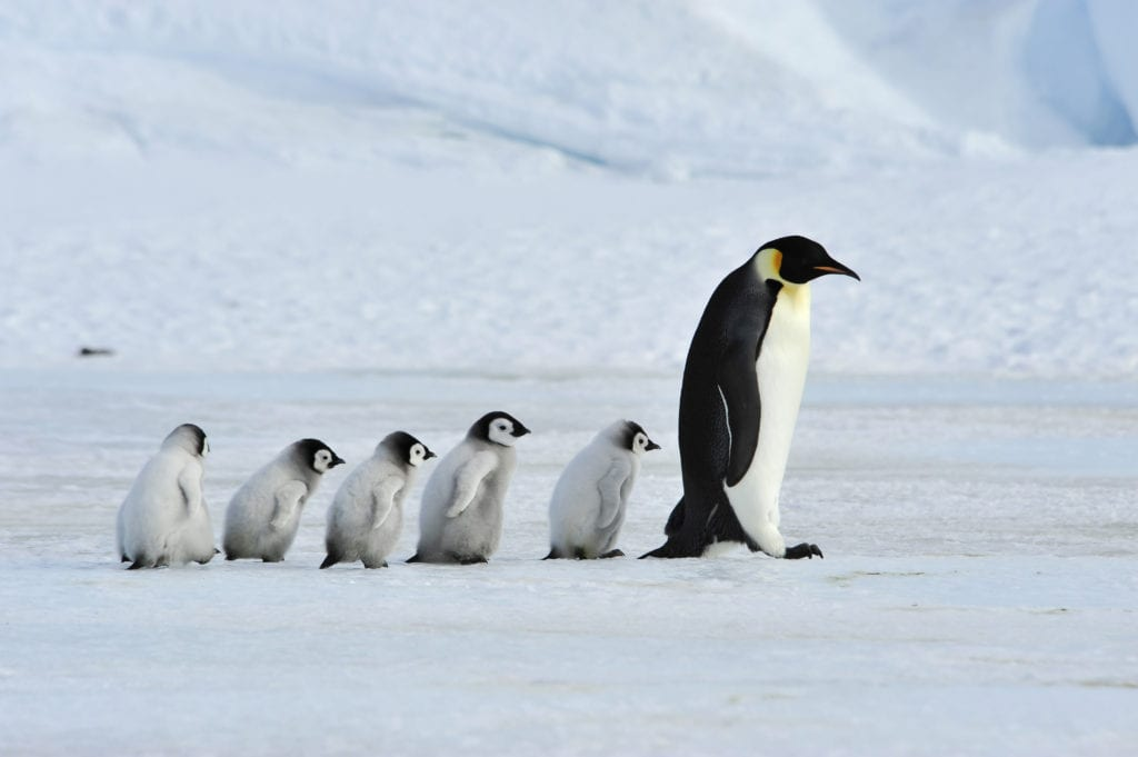 antarctic penguin emperor