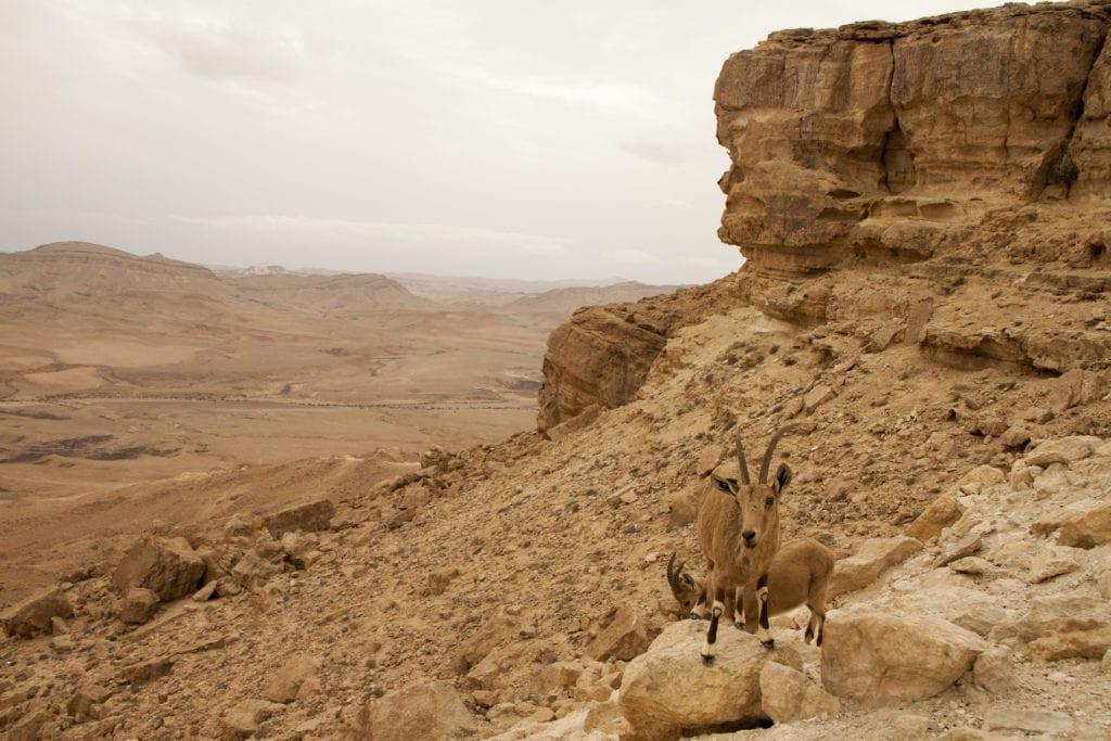 Ibex Negev Desert Israel by Arie Jakovlev, Shutterstock