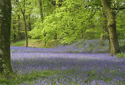 Bluebells in East Devon
