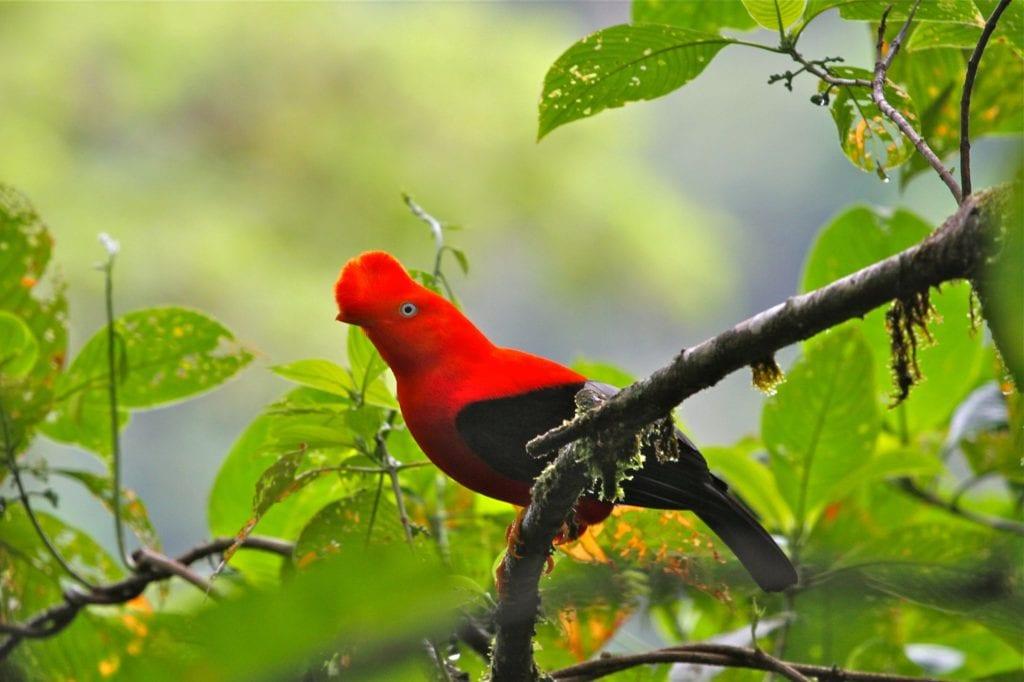 Andean cock-of-the-rock, Manu National Park, Peru