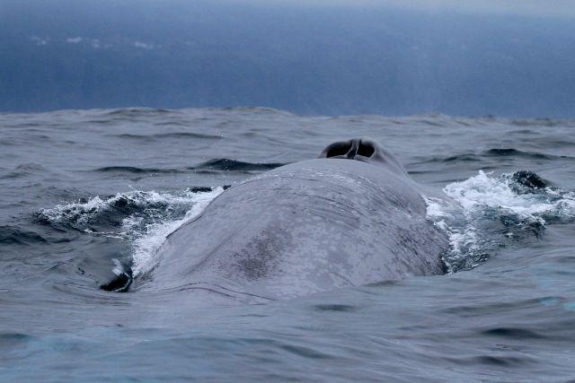 Blue whale, Azores, Pico Island