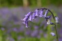 Bluebells UK