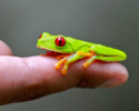 Red-eyed tree frog Mike Unwin