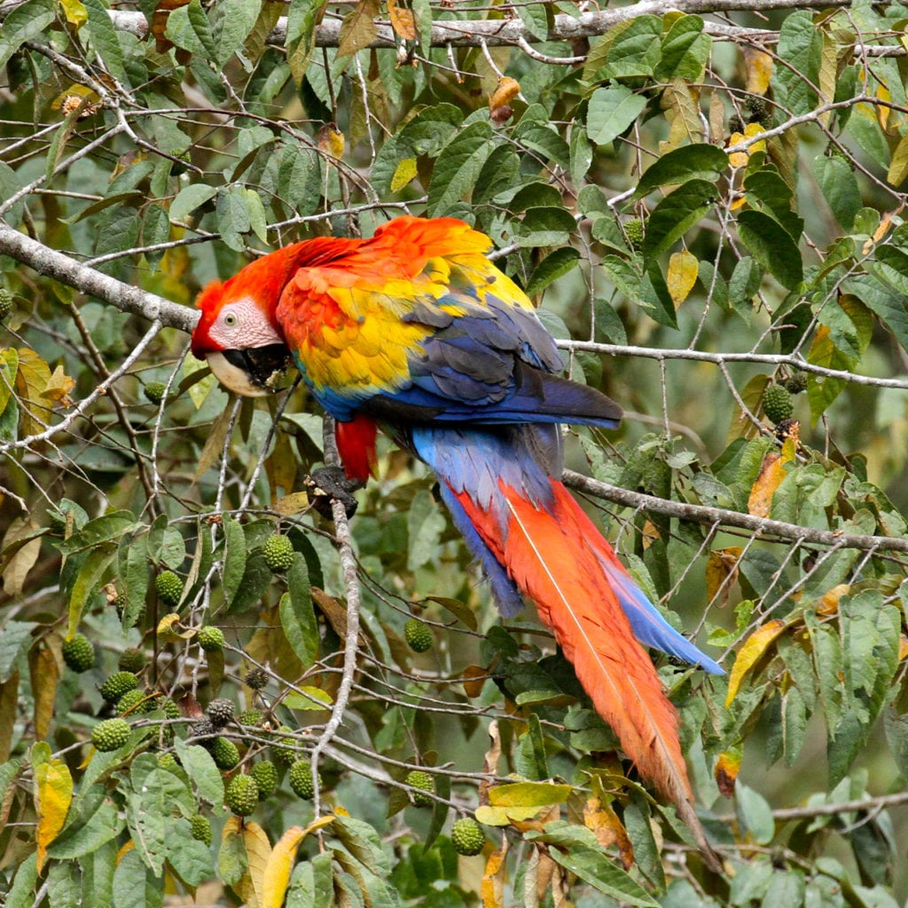 Scarlet macaw Mike unwin