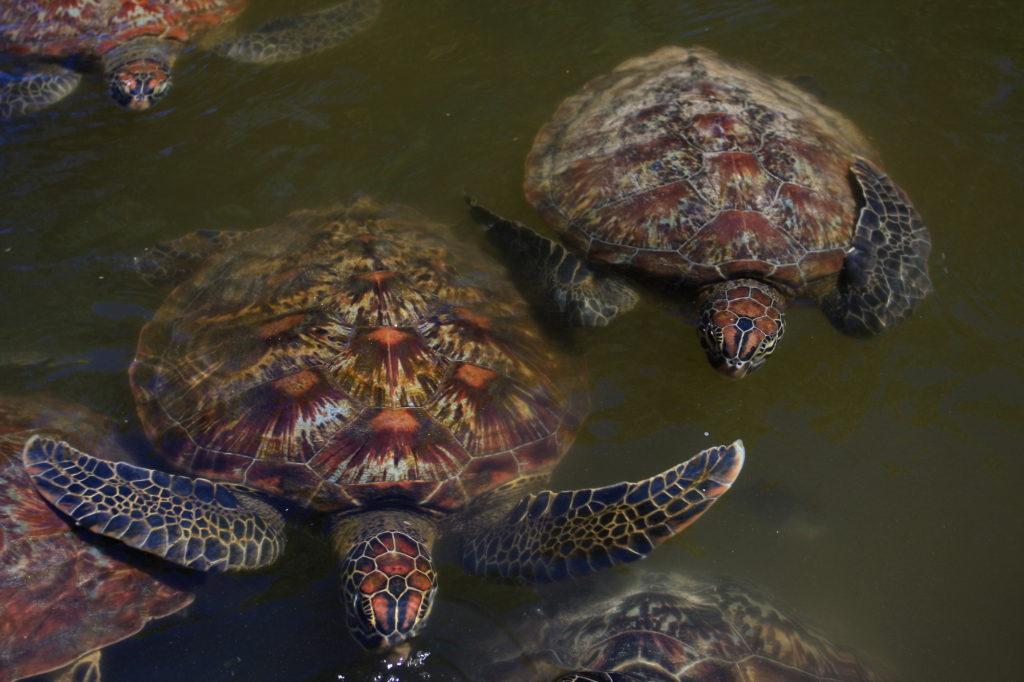 Turtles Zanzibar by TravelingOtter Flickr