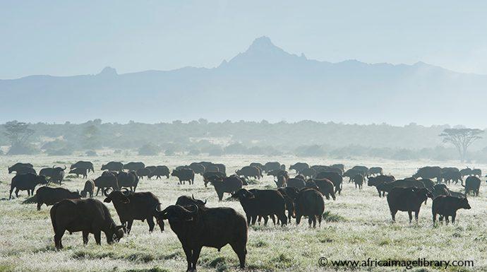 Buffalo Laikipia Kenya by Ariadne Van Zandbergen Africa Image Library