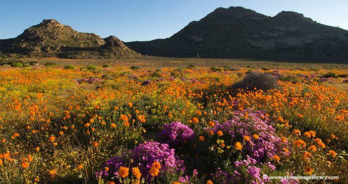 Flowers South Africa by Ariadne Van Zandbergen, Africa Image Library