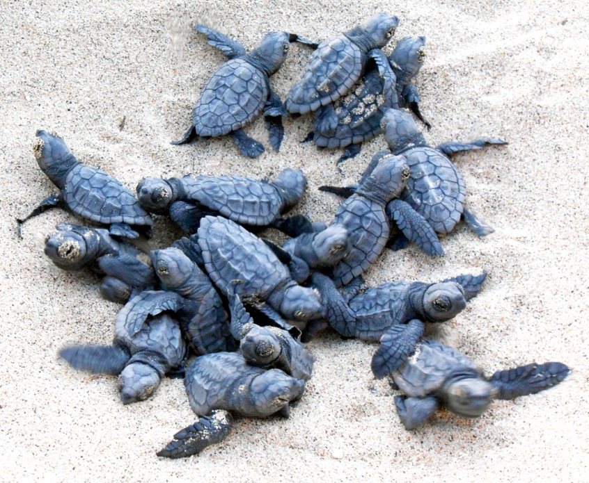 Hatching nest turtles Cape Verde by Project Biodiversity
