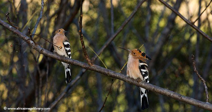 Hoopooe South Africa birdwatching by Ariadne Van Zandbergen, Africa Image Library