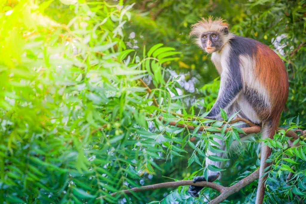monkey, Jozani, Zanzibar by Hasin Shakur, Wikimedia Commons