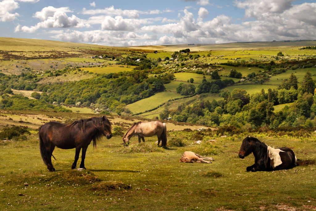 Exmoor ponies Exmoor National Park by Tony Brindley, Shutterstock