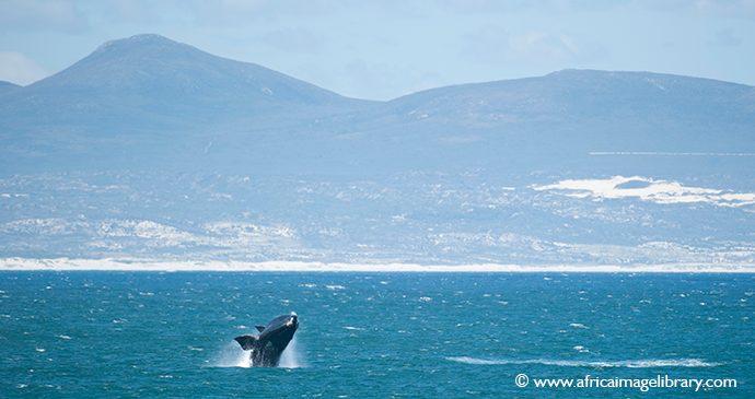 Whale watching Hermanus South Africa Ariadne Van Zandbergen