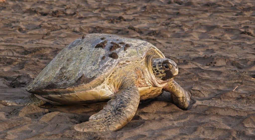 Turtle Tortuguero National Park