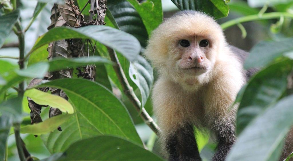 Capuchin monkey best wildlife destinations costa rica