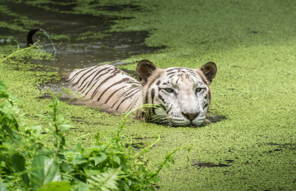 White Bengal Tiger Sunderbans Wetland India by Roop_Dey, Shutterstock