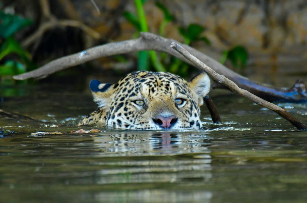 Jaguar Pantanal Wetland Brazil by Walter Mario Stein Shutterstock