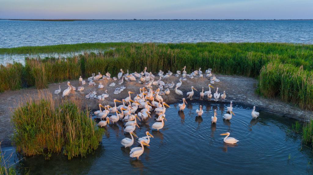Pelicans Danube Delta Romania by Porojnicu Stelian Shutterstock