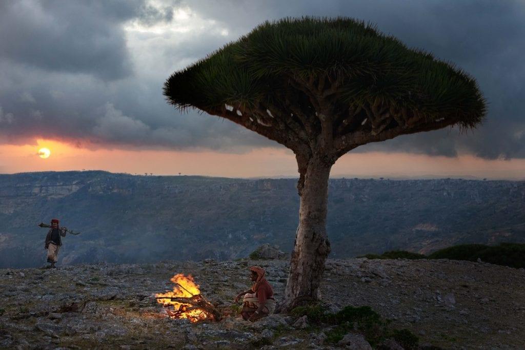 Dragon tree bedouin Socotra Yemen
