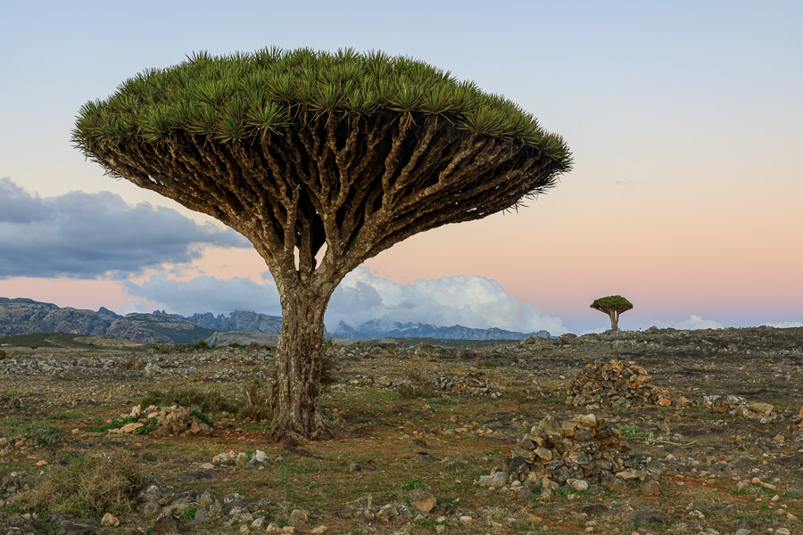 dragon's blood tree socotra guidebook