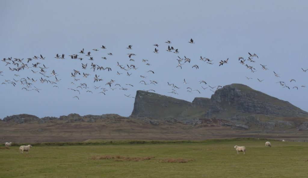 Barnacle geese Islay Scotland Nige Brown Wikimedia Commons connecting with nature Britain