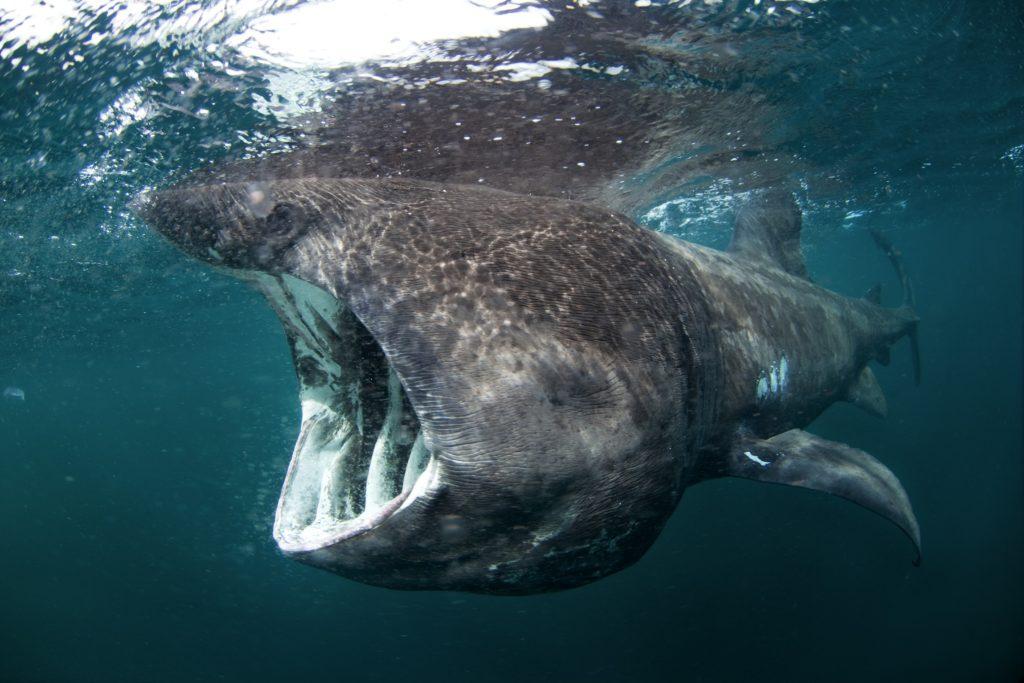 Basking shark when to visit inner hebrides