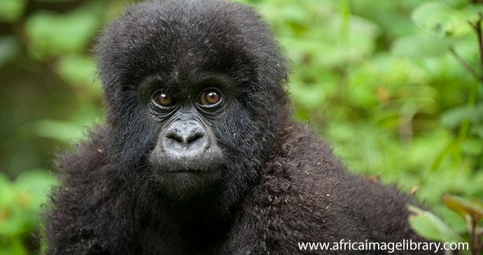 Baby Mountain Gorilla Rwanda by Ariadne Van Zandbergen Africa Image Library