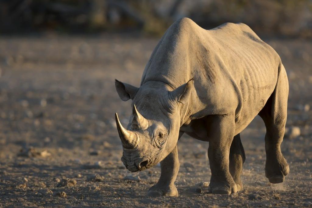 Black Rhino by 2630ben Shutterstock