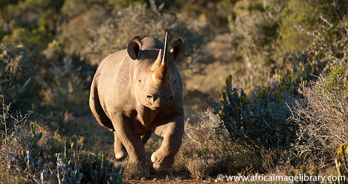 Black rhino charging South Africa by Ariadne Van Zandbergen African Image Library