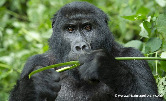 Mountain Gorilla Bwindi Uganda by Ariadne Van Zandbergen Africa Image Library