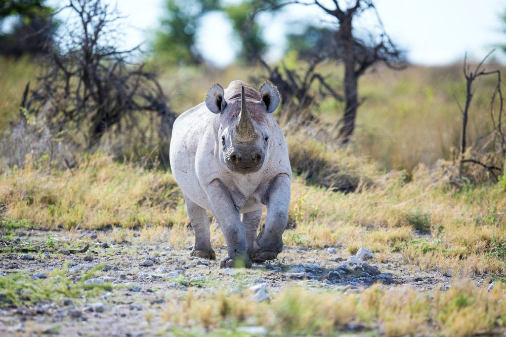 Black rhino Namibia by Otto du Plessis Shutterstock