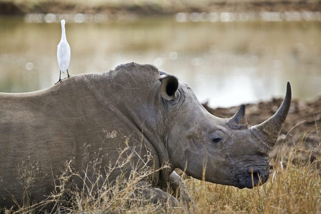 Rhino Hlane National Park eSwatini by Travel Stock Shutterstock, best places to see rhinos