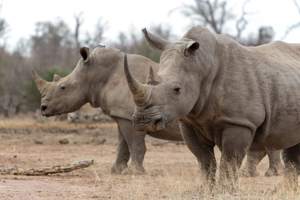 Rhinos Botswana by bassvdo Shutterstock, best places to see rhinos