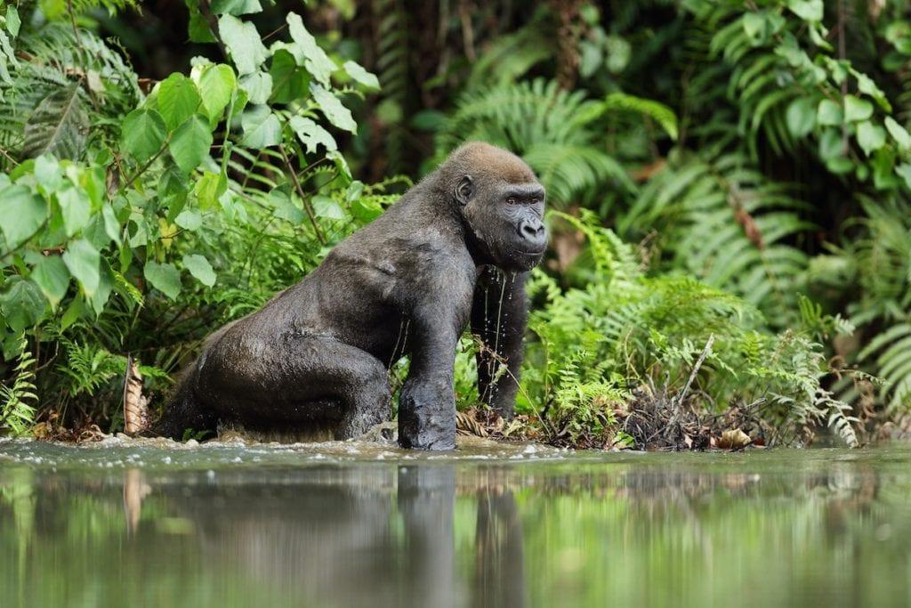 Western Lowland Gorilla Gabon by Michal Jirous Shutterstock