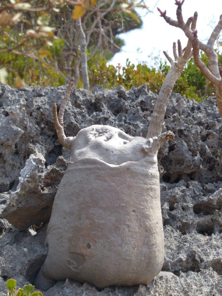 Socotra's endemic species