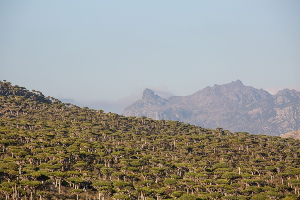 Firhmin Forest Socotra