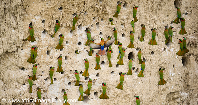 Red Throated Bee Eater Colony Semliki National Park Uganda by Ariadne Van Zandbergen Africa Image Library, natural splendour