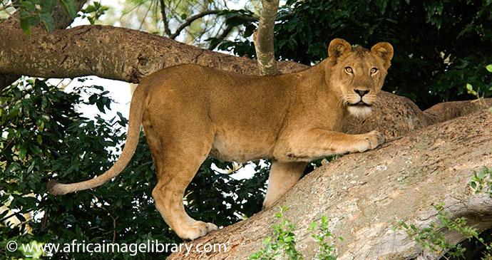 Tree Climbing Lions Ishasha Plains QENP Uganda by Ariadne Van Zandbergen Africa Image Library, natural splendour