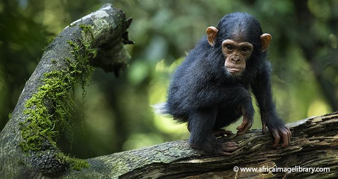Baby Chimpanzee Kibale Forest National Park Uganda by Ariadne Van Zandbergen Africa Image Library, natural splendour