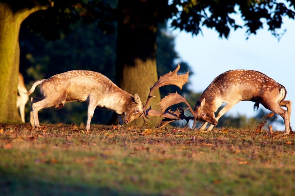Fallow deer rut autumn uk