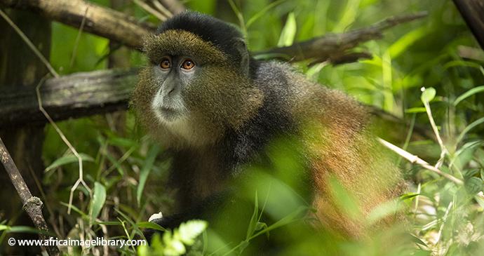 Golden monkey Mgahinga Gorilla National Park Uganda by Ariadne Van Zandbergen Africa Image Library