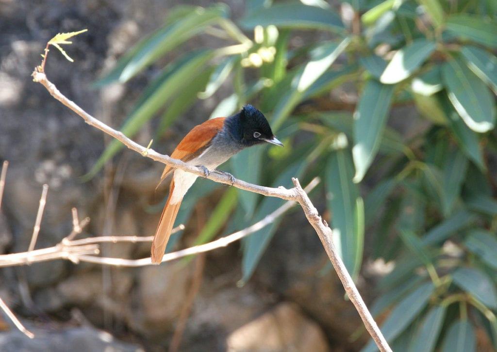 Paradise Flycatcher Bird Oman by BMJ Shutterstock