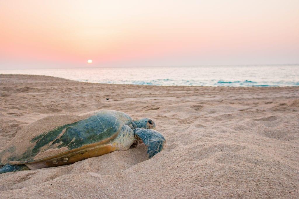 Turtle Ras Al Jinz Beach Oman by Catherine Guild Shutterstock