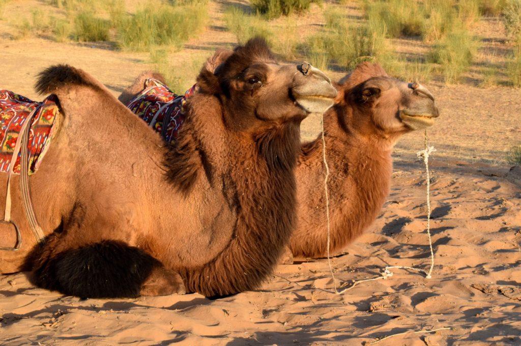Camels Uzbekistan by Maximum Exposure Productions