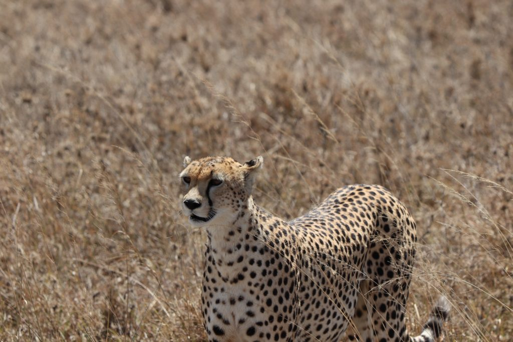 Cheetah Serengeti National Park Tanzania by Anders Jacobsen Unsplash