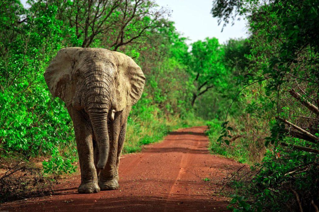 Elephant Mole National Park Ghana travel winter sun by Sura Nualpradid Shutterstock