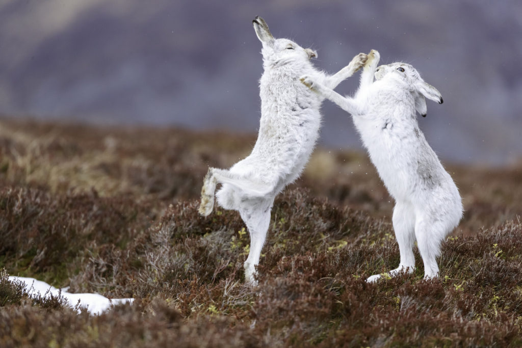 Boxing Mountain Hare By Getty Images Shutterstock Winter Activities UK