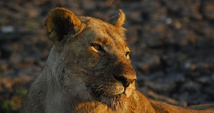 Lioness Kafue National Park Zambia Travel winter sun by Tricia Hayne