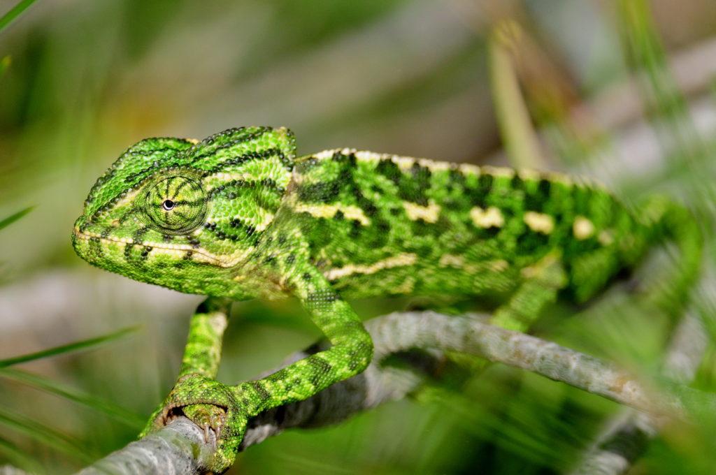 Mediterranean chameleon by Stuart Reeves