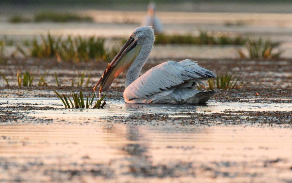 Pelican Danube Delta Romania by Zdeněk Macháček Unsplash
