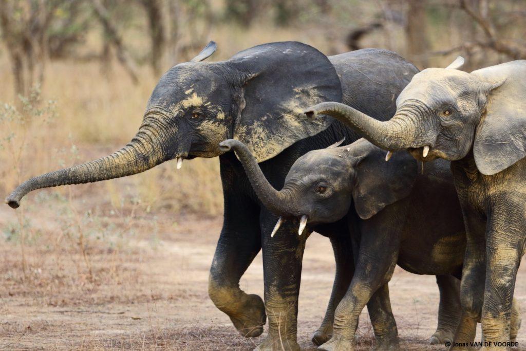 elephants, parc national du w, benin, j van de voorde, african parks